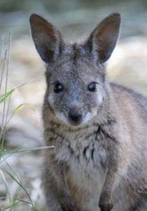 wallaby_crop (1)